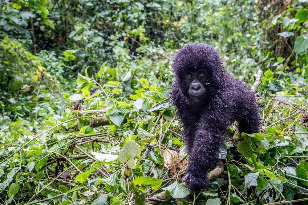Ruanda - Gorilas